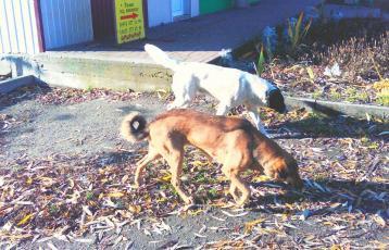 Бродячі собаки на вулицях Малина